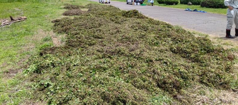 諏訪湖のヒシ刈り
